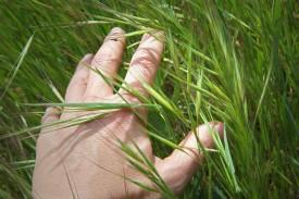 Hand berührt Gras sanft