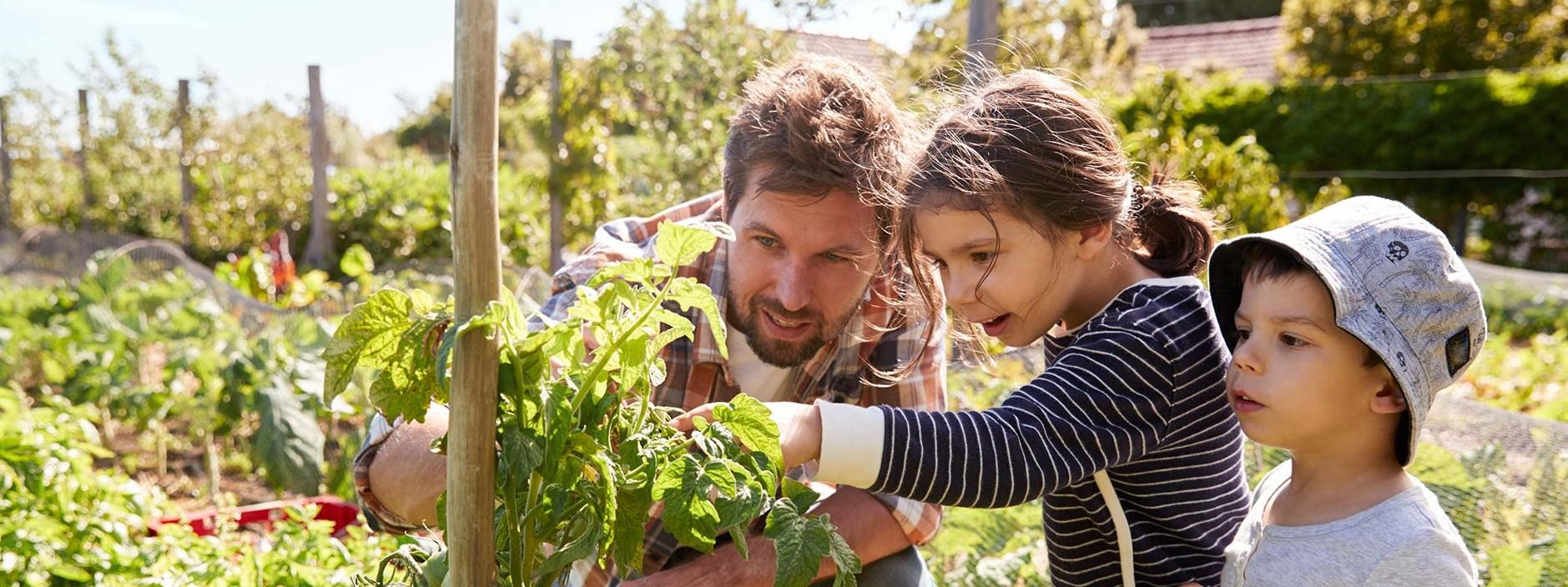 Vater schaut mit Tochter und Sohn Tomaten im Garten an