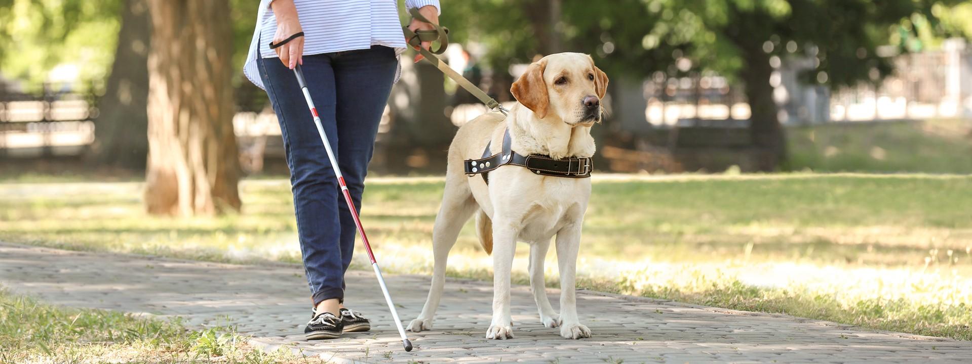Eine sehbehinderte Frau läuft in einem Park mit einem Blindenstock und wird von einem Blindenführhund geführt.